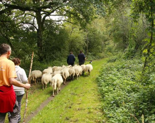 schapen 2